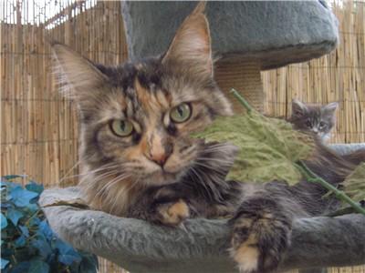 www mcats de | Maine Coon Fotogalerie